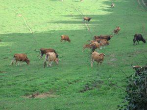 Ganadería extensiva de vacuno en Galicia en la explotación de un agricultor genuino