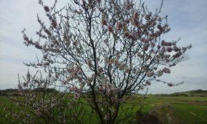 almendro ecológico en flor. Agricultura ecológica